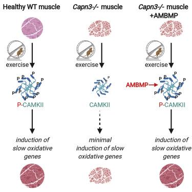 На рисунке дано сравнение влияния упражнений и выработки P-CAMKII на здоровую мышцу, мышцу с кальпаинопатией и на мышцу с кальпаинопатией при лечении молекулой AMBMP.